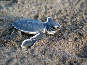 Baby-Sea-Turtle-Creative-Commons